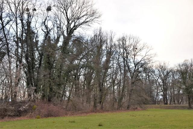 Na terenie parku na Wyspie Bolko planowana jest wycinka kilkunastu drzew oraz przycięcie ponad setki