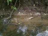 Śnięte pstrągi w rzece Stynie w gm. Trąbki Wielkie. Wyginęła cała populacja - mówi Społeczna Straż Rybacka. Zobaczcie zdjęcia