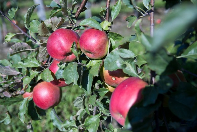 Polska była największym w UE dostawcą jabłek na rynki pozaunijne  w minionym sezonie.