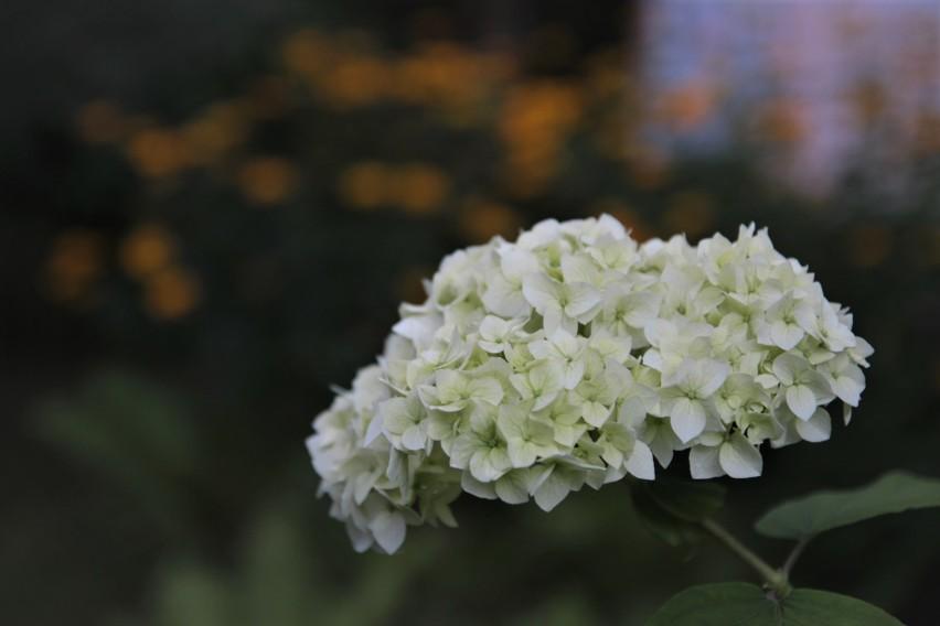 Posadzenie długo kwitnących krzewów, takich jak np. hortensji, to sposób na to, żeby nasz ogród wyglądał pięknie od wiosny do jesieni.