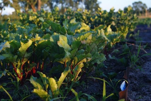 W czerwcu można jeszcze wysiać buraki liściowe i ćwikłowe większości odmian na zbiory jesienią.