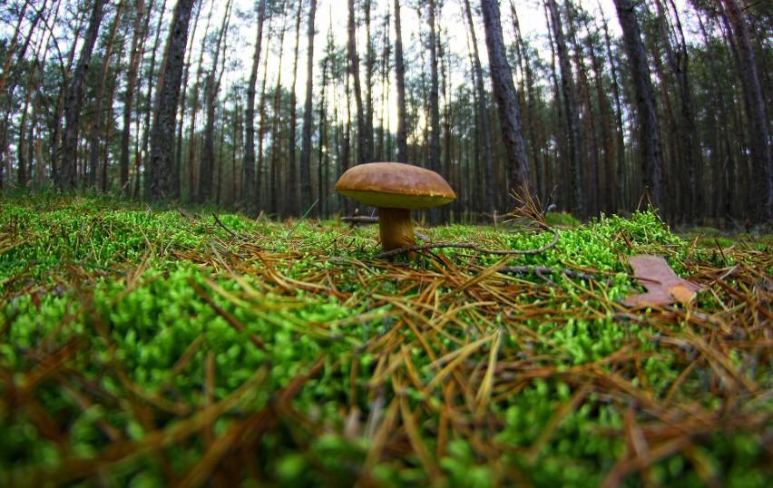 Pod jakimi drzewami rosną grzyby? Gdzie szukać prawdziwków i podgrzybków? Lista miejsc, w których rośnie najwięcej grzybów