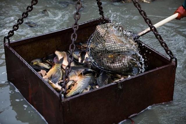 Karp na święta to tradycja. Wielu konsumentów woli kupić jeszcze pływającą rybę