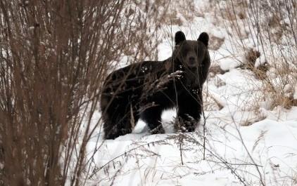 Niedźwiedzica w styczniu br. przyszła do Przemyśla.