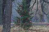 Świeżo posadzone iglaki w parku Julianowskim zostały przystrojone niczym świąteczne choinki