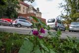 Kraków. Gdzie mają powstać łąki kwietne? Decydują mieszkańcy
