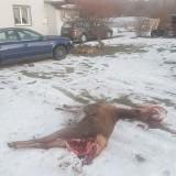 Wilki zagryzły łanię w środku wsi, tuż pod domem mieszkańca Polany