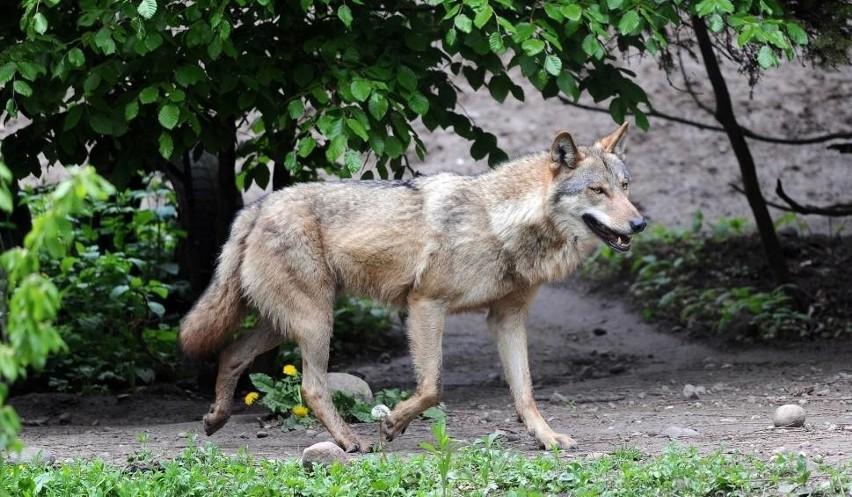 Wilki w lesie pod Wrocławiem? Nie wpadajmy w panikę