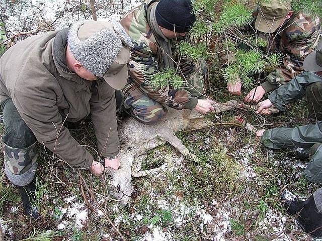 Leśnicy Nadleśnictwa Stąporków podczas uwalniania sarny. Na nogach widać okaleczenia spowodowane wnykami.