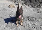 Pies policjant z Koszalina szkolił się z ratownikami GOPR-u ZDJĘCIA