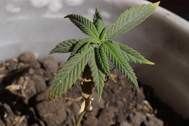 20-latek wyhodował sobie marihuanę w pokoju.