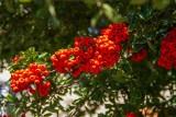 Ognik szkarłatny, rokitnik i jarzębina w ogrodzie. Czym się charakteryzują ich owoce i jak je jeść