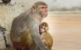 Aktywiści: zaprzestać eksperymentów na małpach w Belgii. Naukowcy: robimy to dla ludzkości