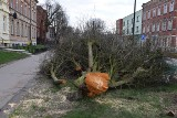 Starogard Gdański. Ulica wyglądała jak po bitwie. Stare drzewa poszły pod topór [ZDJĘCIA]