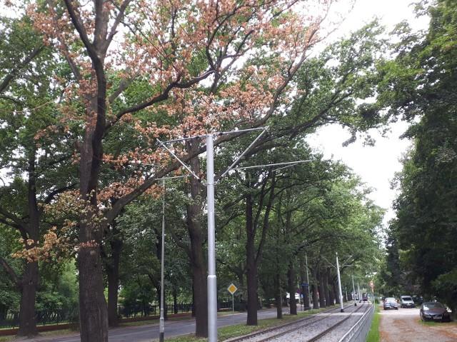 Niektóre drzewa z alei dębowej przy ul. Olszewskiego zaczynają schnąć