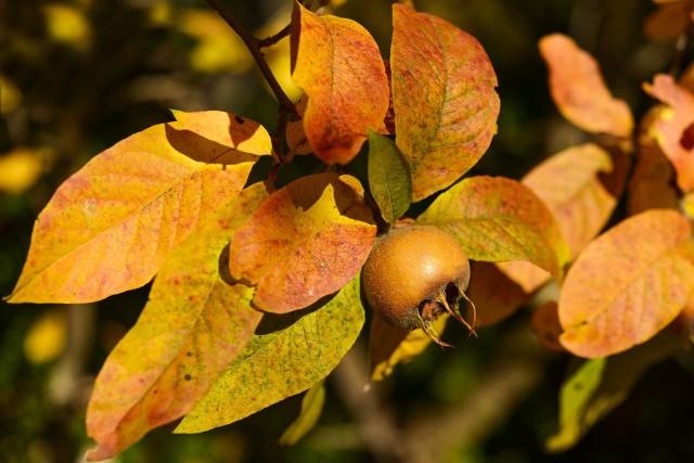 Nieszpułkę warto posadzić w ogrodzie. Ma niewielkie wymagania uprawowe i dostarczy zdrowych owoców, które są trudne do kupienia i raczej drogie.