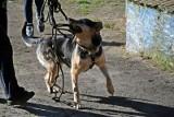 Spacer z psami z zielonogórskiego schroniska. To świetna i pożyteczna forma spędzenia wolnego czasu!
