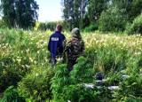 Gmina Wasilków. Plantacja konopi indyjskich w lesie na terenie muzeum. 56 krzaków i kilogram marihuany (zdjęcia, wideo)