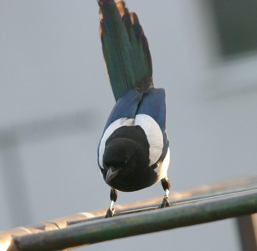 Sroka od dawna fascynuje nie tylko ornitologów
