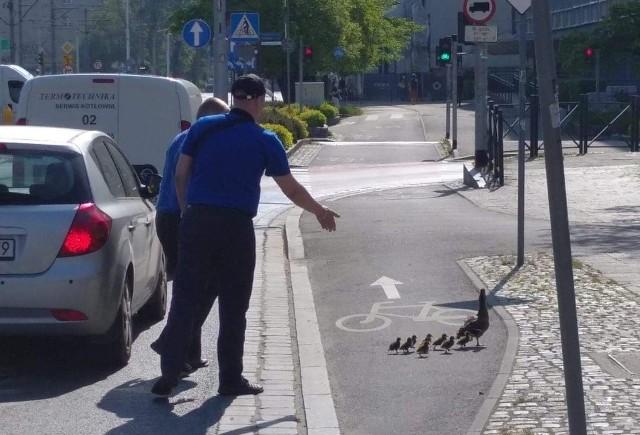 Stadko kaczek eskortowane przez motorniczych, bezpiecznie przechodzi przez jezdnię