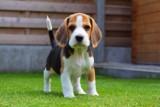 Rasy psów idealne dla rodzin z dziećmi: jaką rasę wybrać? [12 propozycji]
