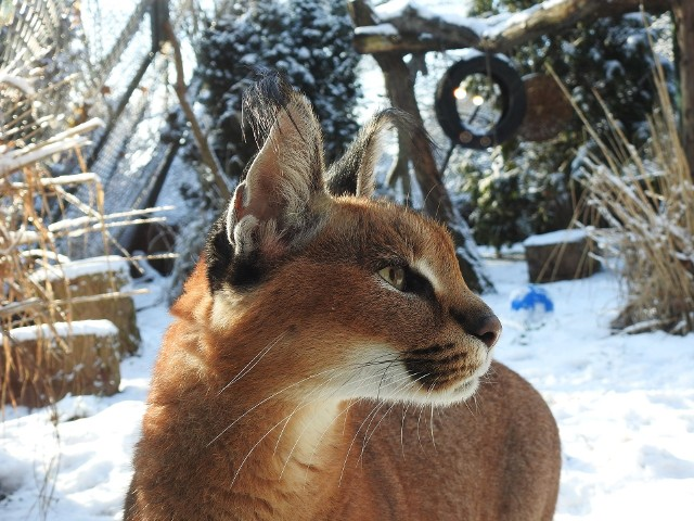 Drapieżniki zimą dostają wysokokaloryczną karmę