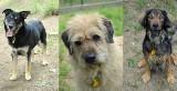 Bydgoskie schronisko dla zwierząt przyjmie 20 psów uratowanych z Radys