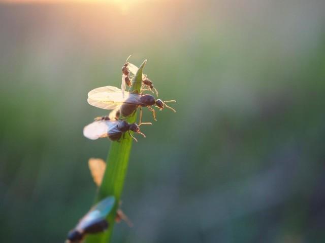 Mrówki ze skrzydłami to uskrzydlone samce i samice (przyszłe królowe) mrówek z gatunku hurtnice. Odbywają rójkę - loty godowe.