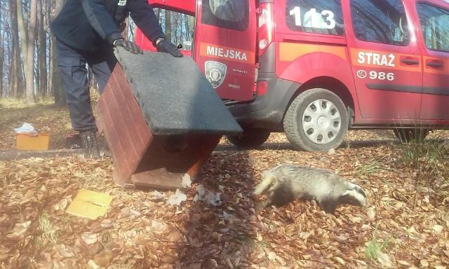 Borsuk wpadł do dziury w centrum Gdyni. Uratowali go strażnicy [ZDJĘCIA]Strażnicy Miejscy z Gdyni uratowali borsuka