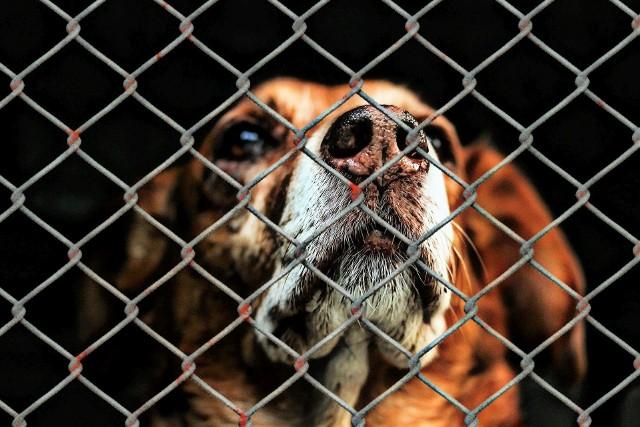 Radny Jacek Tarczewski z Inowrocławia tłumaczy, że zwierząt ze schroniska się nie adoptuje. Słowo to przeznaczone jest wyłącznie dla ludzi