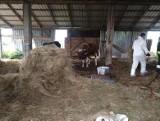 Końcowizna. Rolnik głodził i zaniedbywał krowy. Władze gminy odebrały mu zwierzęta, musi też zapłacić karę [ZDJĘCIA]
