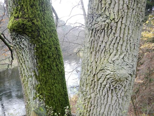 """""""Dwa Witoldy"""" - pomnikowe dęby szypułkowe - mają ok. 180 lat i rosną na urwistym brzegu nad Brdą w pobliżu leśniczówki Woziwoda. Oglądają je m.in. kajakarze płynący szlakiem Brdy"""