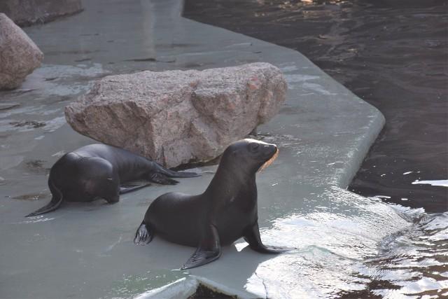 W piątkowy (1.10) poranek młode, w przeciwieństwie do reszty stada, ociągały się z wejściem do wody. Gdy już jednak zdecydowały się dać nura, niechętnie opuszczały basen. - Uchatki mają dosyć grubą warstwę tłuszczu, więc są przystosowane do pływania w chłodnej wodzie. W naturze pływają w wodach oceanicznych - wyjaśnia Anna Włodarczyk, asystentka działu hodowlanego.