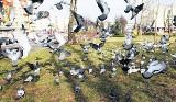 Jak odstraszyć gołębie? Oto 7 skutecznych sposobów walki z gołębiami