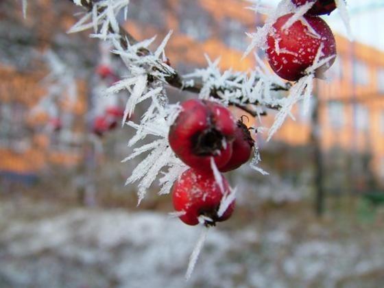 Owoce na krzewach i drzewach to pokarm dla leśnych zwierząt