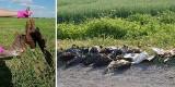 Kolejne martwe ptaki znaleziono w Wielowsi koło Krotoszyna. Ktoś rozrzucił po polach zatrute mięso