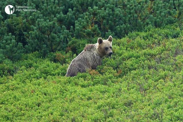 Niedźwiedzie teraz mają czas jedzenia. W poszukiwaniu pokarmu schodzą nawet do Zakopanego i okolicznych miejscowości