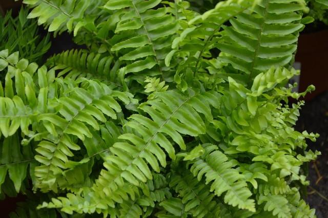 Paprocie to idealne kwiaty domowe. Są to rośliny łatwe w uprawie i nie sprawiają większych problemów. Ponadto kształty niezwykłych liści paprotek wnoszą do mieszkania magiczny i egzotyczny klimat.