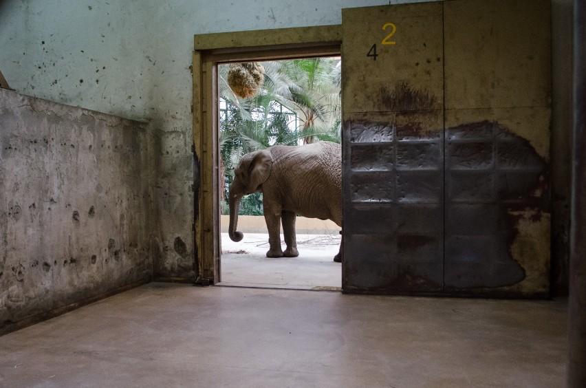 Słonie w warszawskim zoo są zestresowane. Dostaną więc... medyczną marihuanę