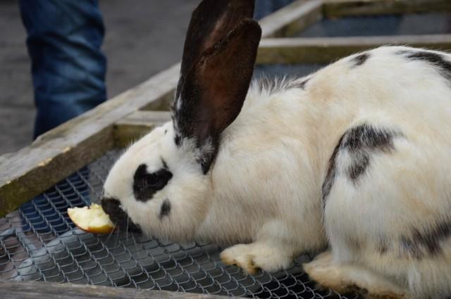 Unikalny targ zwierzęcy, co niedzielę w Sławnie [ZDJĘCIA]W każdą niedzielę do Sławna przyjeżdżają hodowcy królików, kur, kaczek, gęsi, trzody chlewnej, czy gołębi pocztowych