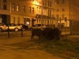 W Poznaniu dziki można spotkać nawet w centrum miasta. Nasz czytelnik przyłapał na spacerze trzech wędrowników
