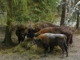 Nadleśnictwo Żednia. Stado żubrów zostało złapane przez fotokomórkę podczas zimowego dokarmiania (zdjęcia)