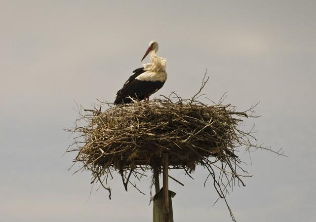 Bocian, który wrócił do wsi Dobrowa stracił gniazdo.