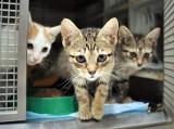Koty do adopcji w Katowicach za darmo. Schronisko dla Zwierząt jest przepełnione