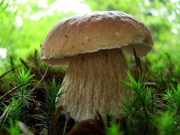 Ma duży mięsisty kapelusz o średnicy 6-25 cm. Powierzchnia...