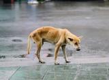 Pies był zagłodzony i nieleczony. Miasto chce, by oddano go właścicielce