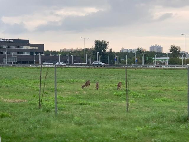 Sarny pasły się tuż obok obwodnicy Wrocławia