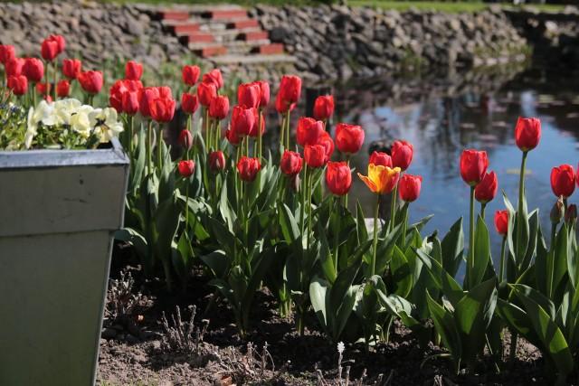 Wysadzone lub wysiane jesienią rośliny korzystają wiosną z wody zgromadzonej w glebie po zimie i szybko kiełkują. Ich wegetacja zaczyna się szybciej od roślin wysianych lub wysadzonych dopiero wiosną.