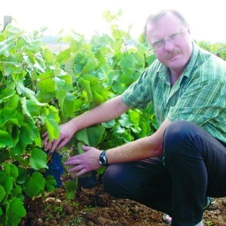 Ciemne odmiany winorośli są bardziej odporne na mróz i dlatego Jerzy Siemaszko ma ich na swojej plantacji najwięcej. Jagody są bardzo soczyste i słodkie.