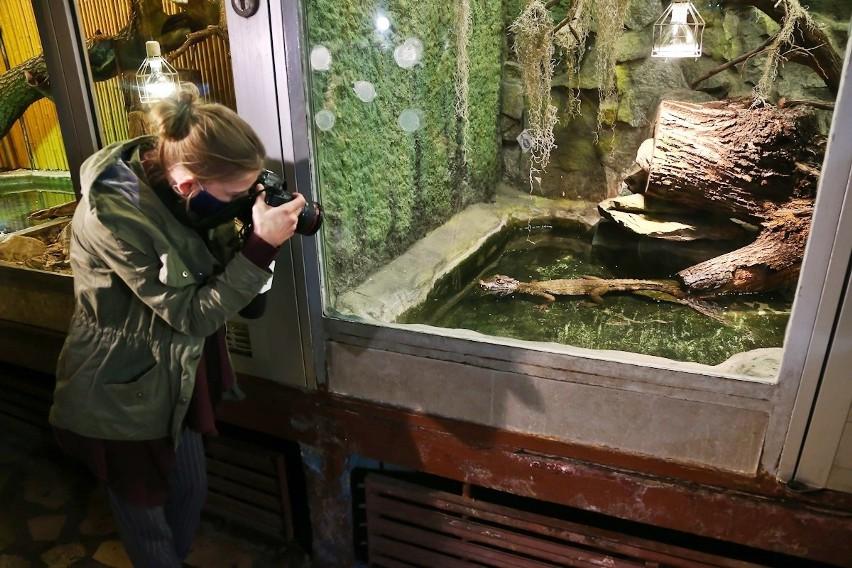 Kajman Karłowaty ze stawu na Rędzinie trafił do terrarium we...